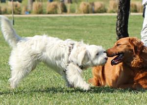 La historia y el concepto equivocado de domonancia en perros